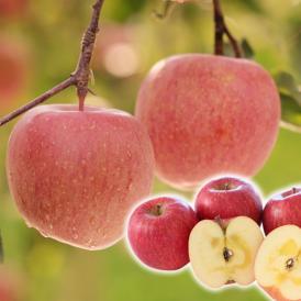【送料無料!※一部地域除く】 訳あり山形県産小玉サンふじりんご 約5kgバラ詰め