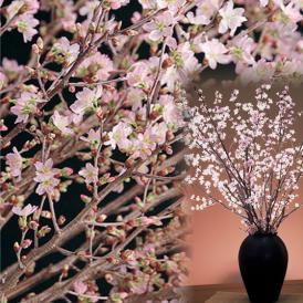 【送料無料!※一部地域除く】初桜 啓翁桜60~80cm×7本