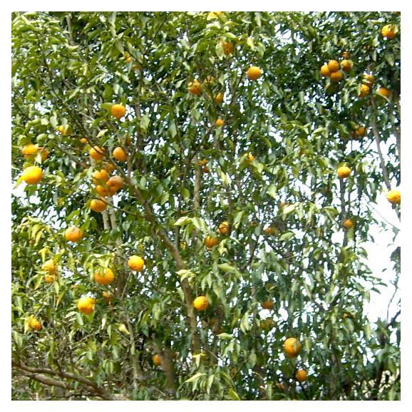 京都産 水尾の柚子 ゆず  1.5kg 18個~21個前後入り03