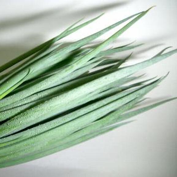 「京野菜」九条ネギ (くじょうねぎ) 12本前後入り03