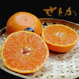 せとか Lサイズ 15個入り化粧箱 愛媛産 ○店長おすすめ果物です ◆最高級柑橘◆JA愛媛中央産せとか(清見×アンコール)×マーコット