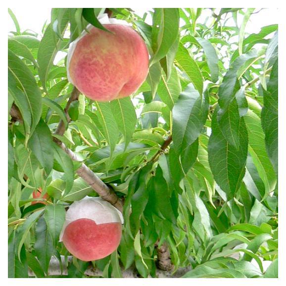 桃 加納岩(かのいわ)果樹園の桃(もも/モモ) 約5kg 大玉15~16個入り 山梨産06