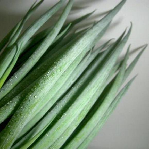 「京野菜」九条ネギ (くじょうねぎ)24本前後入り 京都産02