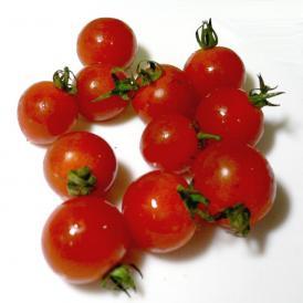 京都産 オーガニック ミニトマト 約1kg 有機JAS認証|プチトマト 赤いトマト