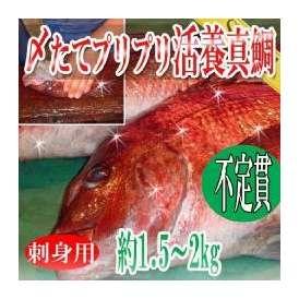 刺身用 〆たてプリプリ 活養/真鯛/1尾約1.5-2kg/冷蔵便/築地直送