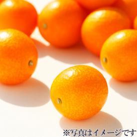 樹上で完熟させた、宮崎県が誇るプレミアムきんかん