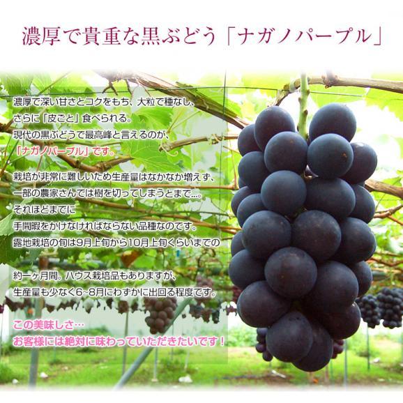 ぶどう 葡萄 送料無料 長野県産 ナガノパープル 2房(合計 約800g)常温又は冷蔵02