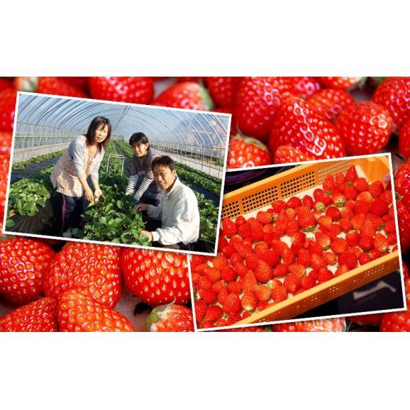 いちご イチゴ 苺 茨城県産 『村田さん家のいちご』 約250g×4パック ※冷蔵 送料無料04