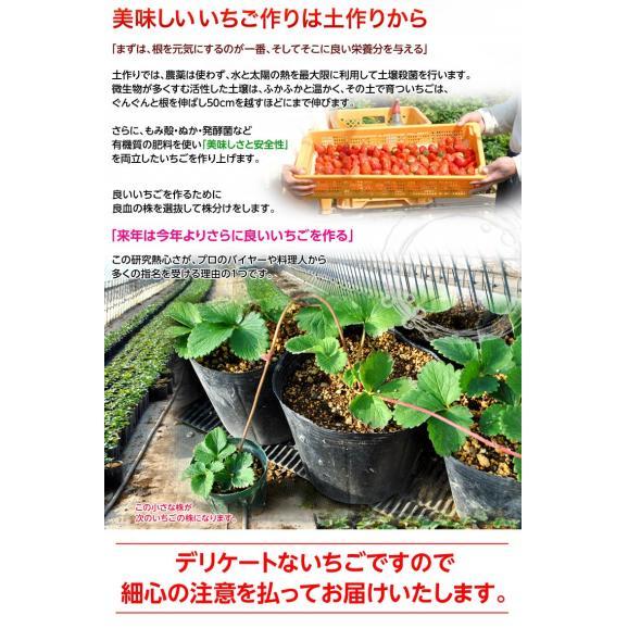 いちご イチゴ 苺 茨城県産 『村田さん家のいちご』 約250g×4パック ※冷蔵 送料無料06