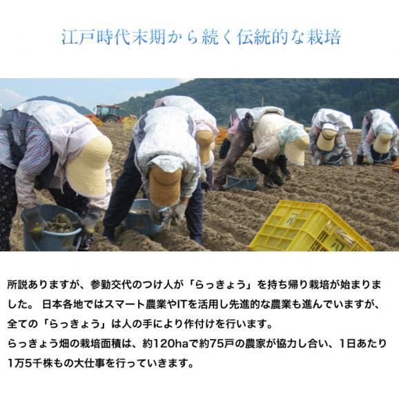 らっきょ ラッキョウ 鳥取県福部町産 下処理済み 洗い生らっきょう M-Lサイズ 2袋セット(1袋:1kg) 冷蔵04