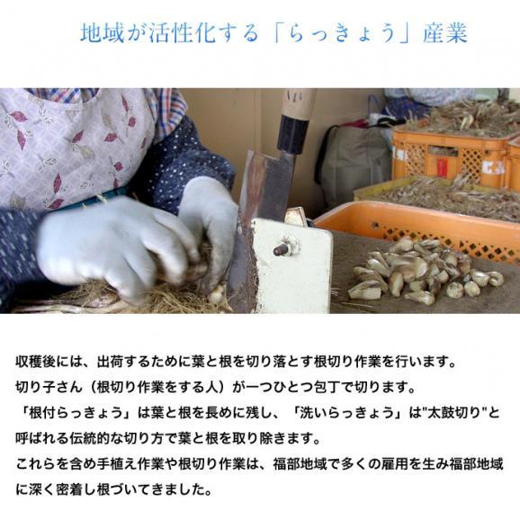 らっきょ ラッキョウ 鳥取県福部町産 下処理済み 洗い生らっきょう M-Lサイズ 2袋セット(1袋:1kg) 冷蔵05