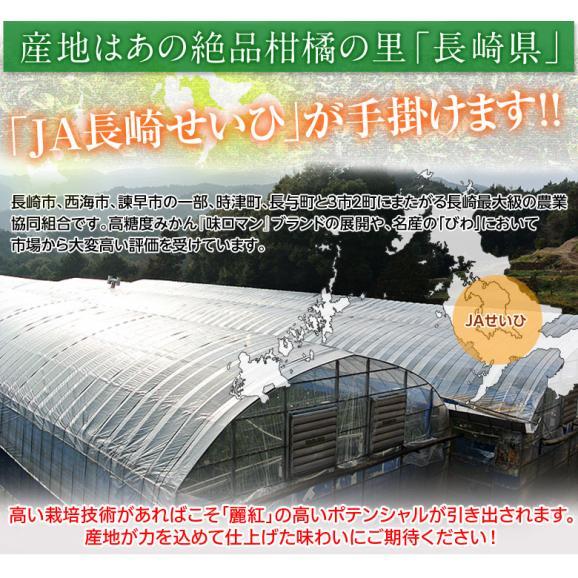 柑橘 長崎県産 JA長崎せいひ 麗紅 バラ詰 約2.5kg 2S~L (目安として15~26玉) 送料無料03
