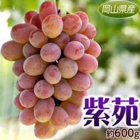 ぶどう ブドウ 葡萄 岡山県産 紫苑 1房 約600g 送料無料
