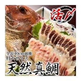 来島海峡の天然真鯛  特大(全長40cm前後) ※冷蔵 ○