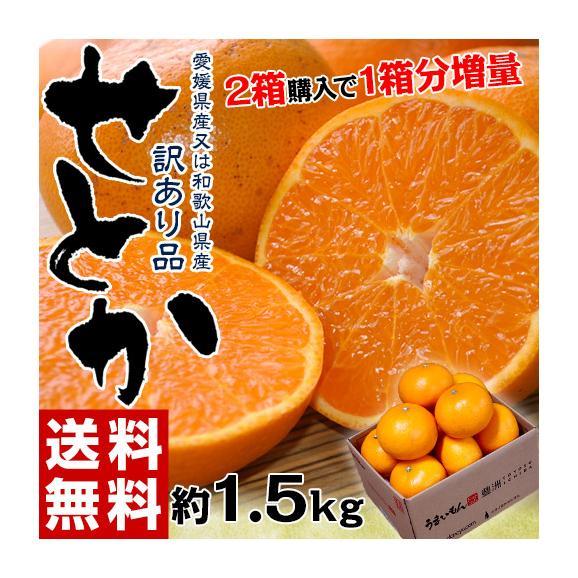 【2箱購入で1箱分増量】 せとか 訳あり品 約1.5kg 送料無料 和歌山または愛媛県産 柑橘 みかん01