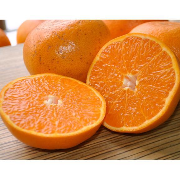 【2箱購入で1箱分増量】 せとか 訳あり品 約1.5kg 送料無料 和歌山または愛媛県産 柑橘 みかん05