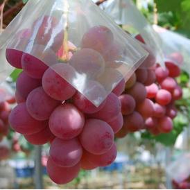 葡萄 ブドウ 長野県産 赤ぶどう クイーンニーナ 2房 合計約800g 送料無料