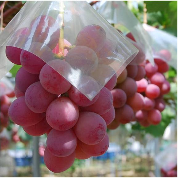 葡萄 ブドウ 長野県産 赤ぶどう クイーンニーナ 2房 合計約800g 送料無料01