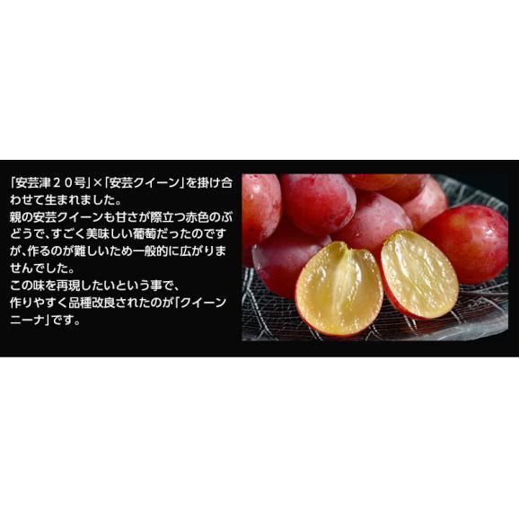葡萄 ブドウ 長野県産 赤ぶどう クイーンニーナ 2房 合計約800g 送料無料02