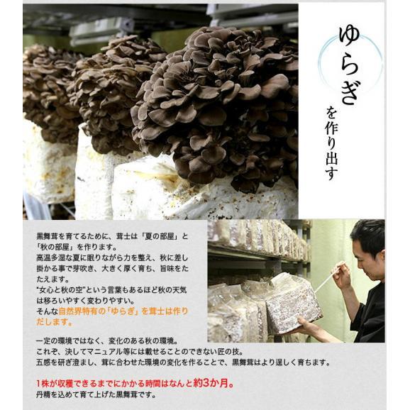 新潟県産 黒舞茸『真』 1株(約700g) 化粧箱 ※冷蔵05
