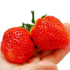 話題の新品種「いちごさん」超大粒サイズを限定販売!