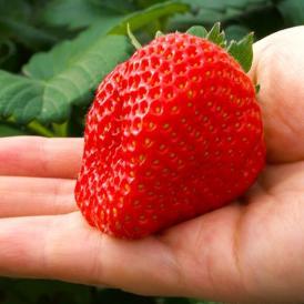 いちご イチゴ 苺 送料無料 イグナルファーム 佐藤さんが作る 宮城県産 もういっこ 大粒 約450g 化粧箱 ※冷蔵