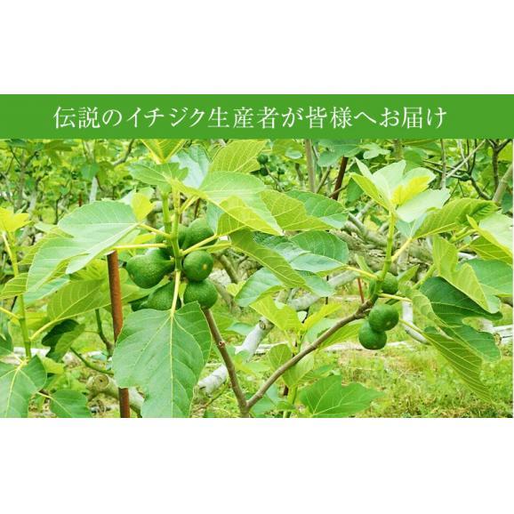 富田秀俊さんの青イチジク「キング」約300g(3~6玉)×4パック 佐賀県産 ※冷蔵 送料無料04