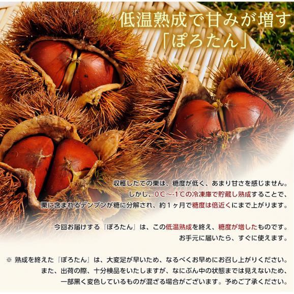 JA菊池 『低温熟成 ぽろたん』熊本県産 栗 2L~3Lサイズ 約1kg ※冷蔵 産地直送 送料無料06