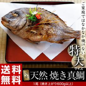 特大! 天然 焼き真鯛 1尾 魚体1kg以上(焼き上がり600g以上)化粧箱入 冷蔵 豊洲出荷 送料無料【同梱不可】
