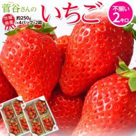 『菅谷さんのいちご』 茨城県産  お試し不揃い 約2kg(250g×8) ※冷蔵 送料無料