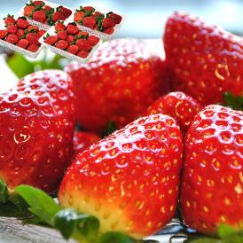【豊洲出荷】茨城県産 村田さん家のいちご 約250g×4パック ※冷蔵 送料無料 いちご 苺 イチゴ