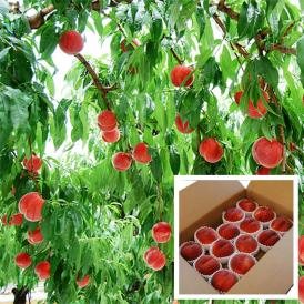 極上白桃なつっこ約5kg(15~20玉)