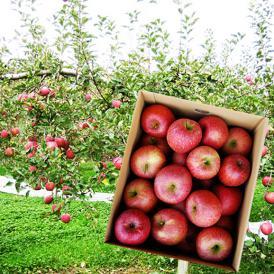 【訳あり】堀さんのふじりんご10kg<バラバラ詰>