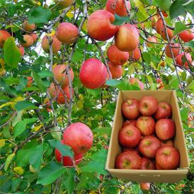 【2箱買うと送料無料】【訳あり】山形のふじりんご5kg
