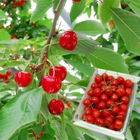 [送料無料]山形の有名観光果樹園のさくらんぼ佐藤錦。さくらんぼのおいしさは土作りと葉から!