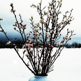 啓翁桜(けいおうざくら)[80cm8本束]