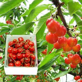 山形の有名観光果樹園のさくらんぼ紅秀峰。食べて違いがわかります!
