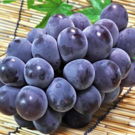 藤稔 ふじみのり 約1.5kg 2~3房 山梨県産 贈答規格 JA共撰品 非常に大きな粒に濃厚な甘さ!ギフト最適な種無し葡萄