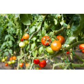 完熟ミニトマト 「まるたかミニトマト(オレンジ色)」